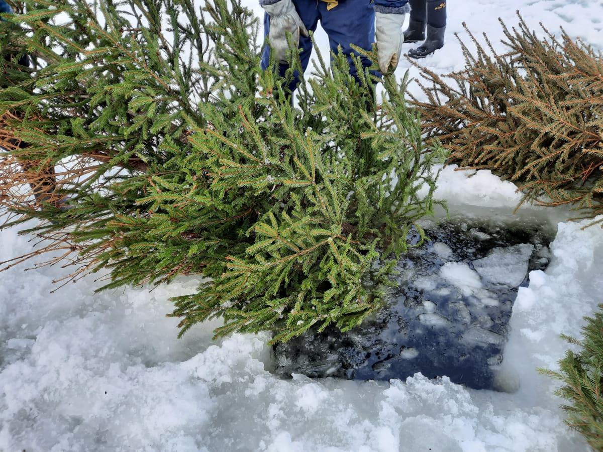 vanha joulukuusi upotetaan jään alle turoksi