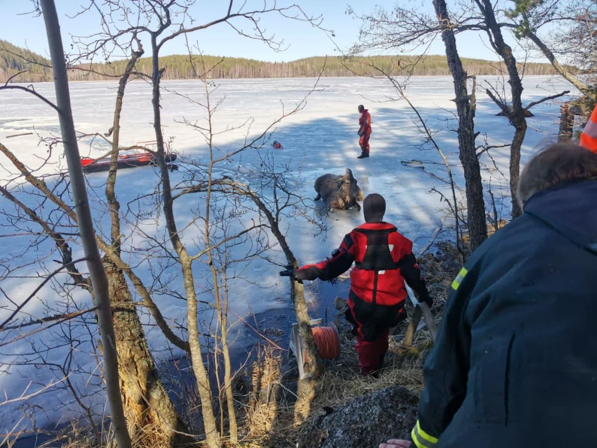 Etelä-Savon pelastuslaitoksen henkilökuntaa pelastetun hirven ympärillä.