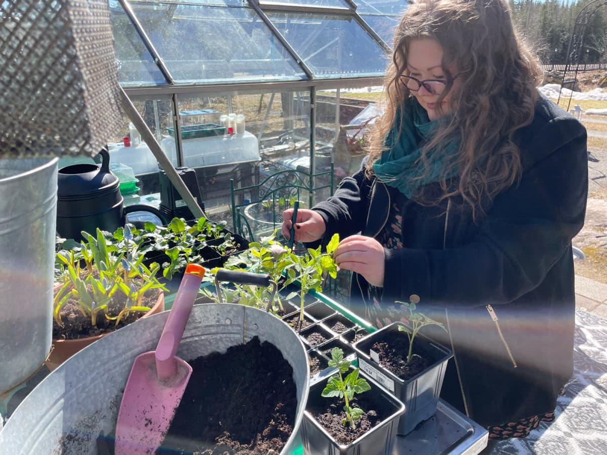 Linda Peltola käsittelee esikasvatettuja taimia