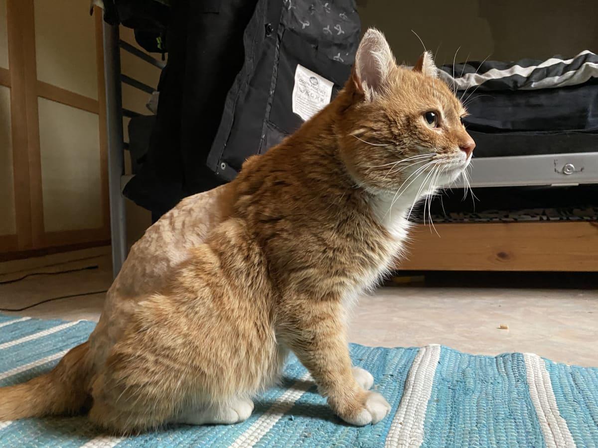 Oranssi kissa sivulta kuvattuna, selästä ajeltu karvoja ihan lyhyeksi.