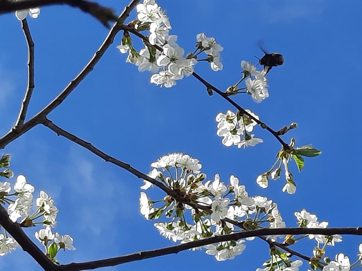 Kimalainen lentelee kirsikankukilla