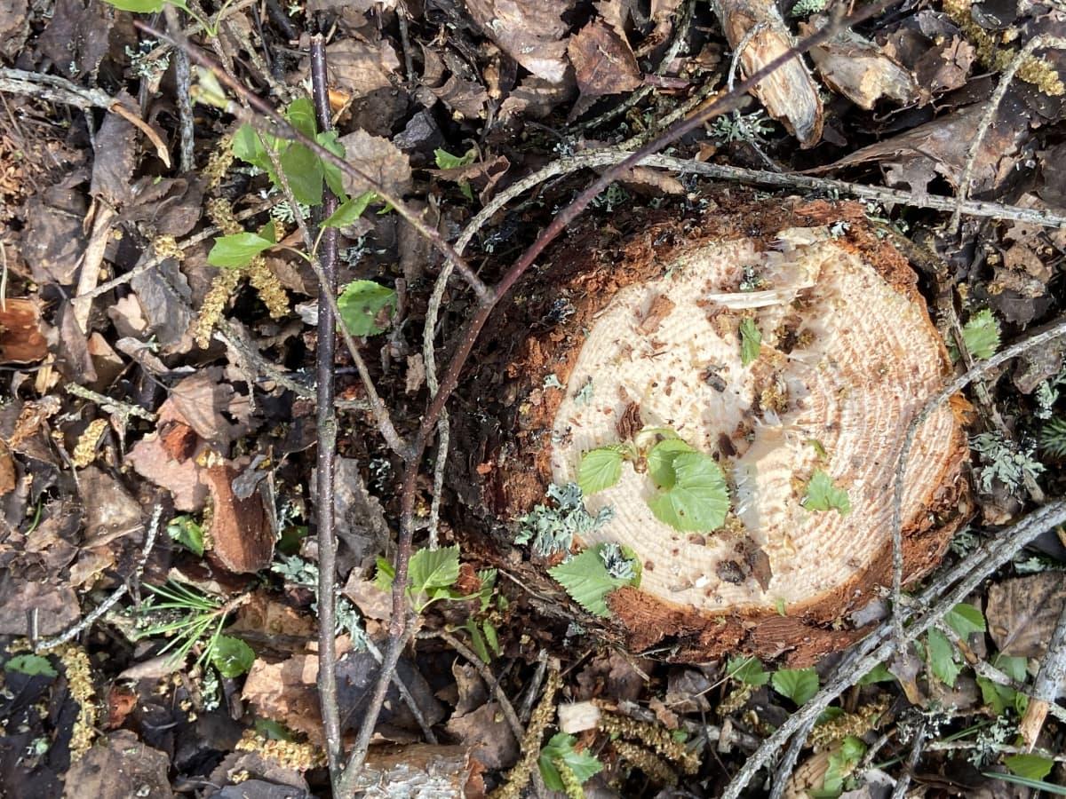 Puun kanto, juuri kaadettua taimikkoa.