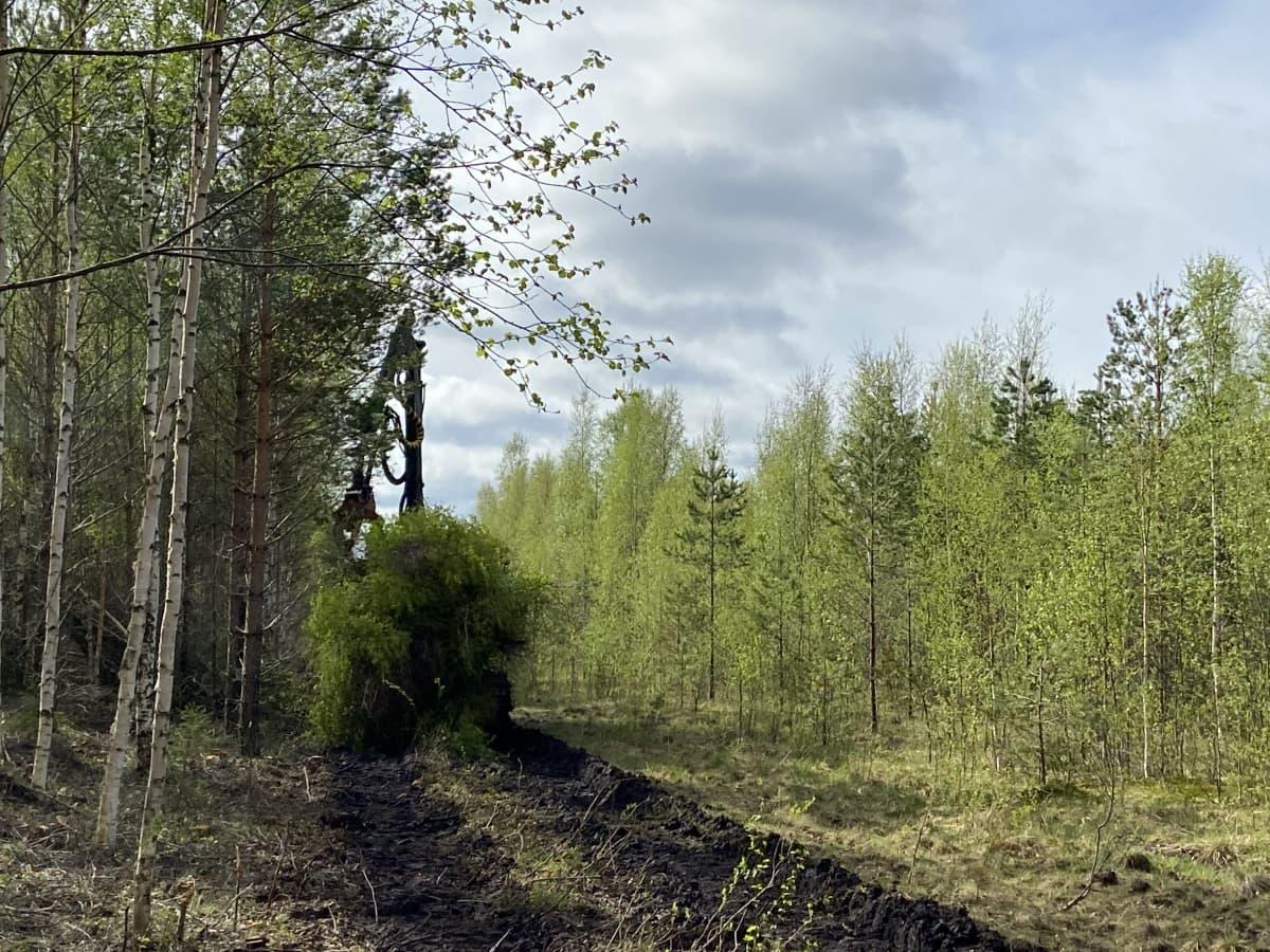 Metsäkone tekee taimikon korjuuta eli puun poistoa nuoressa metsässä Peräseinäjoella.