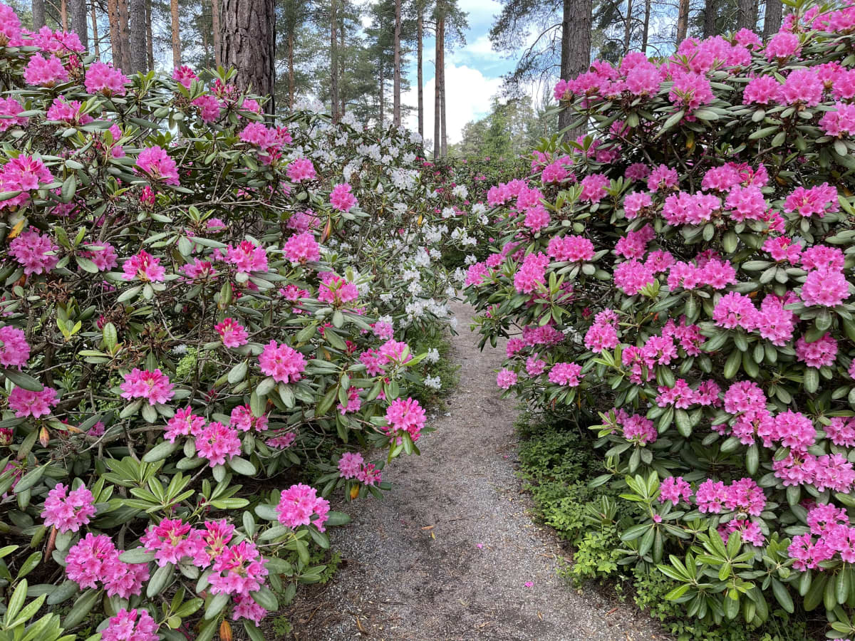 Pinkkejä ja vähän valkoisia alppiruusupuskia alppiruusupuistossa
