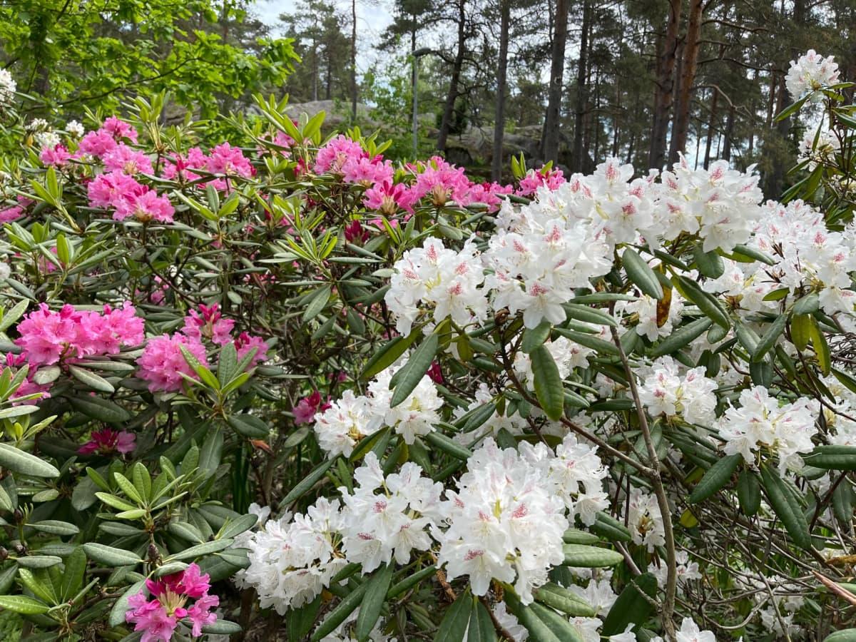 Valkoisia ja pinkkejä alppiruusupuskia
