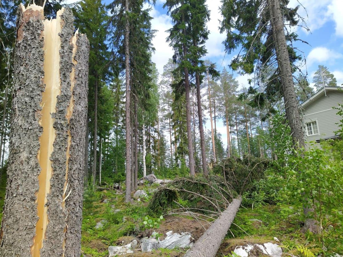 Omakotialueella kaatunut iso mänty Vieno-myrskyssä Kuopiossa