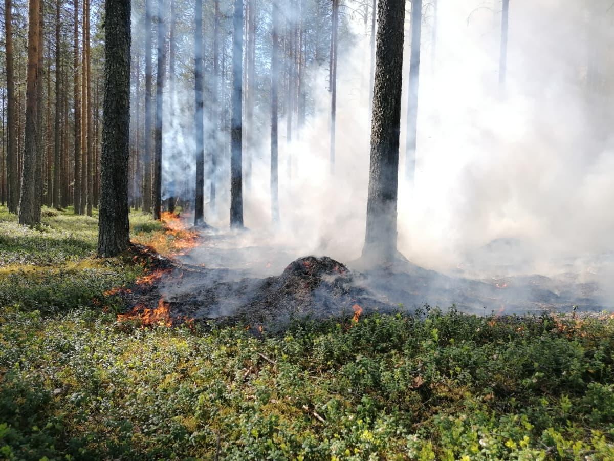 Metsän pohjakerros liekeissä mäntykankaalla.