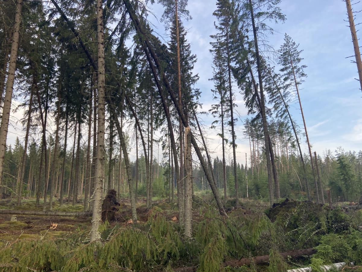 Ukkosrintaman kaatamia ja katkomia puita.