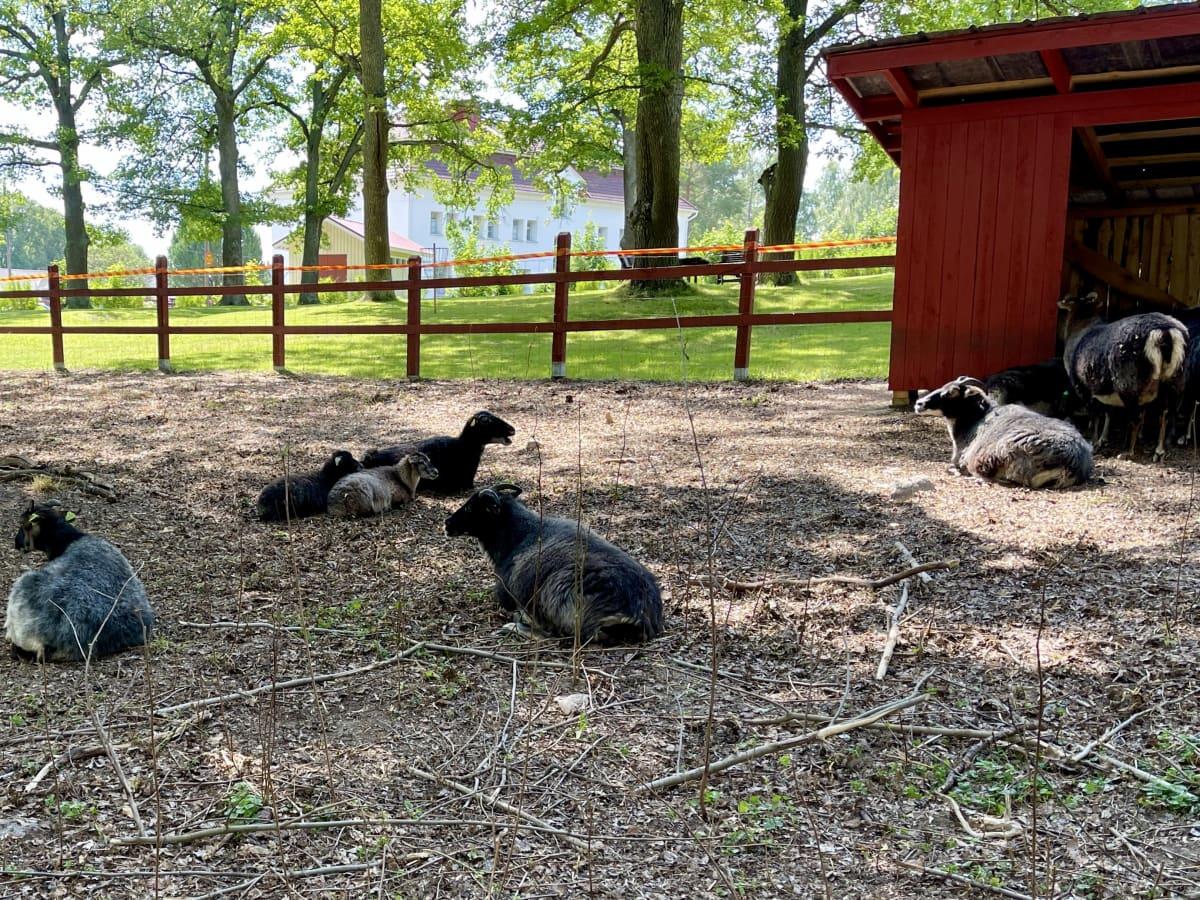 Mustia ja valkoisia lampaita aitauksessa. Lampaat makoilevat puiden varjossa.
