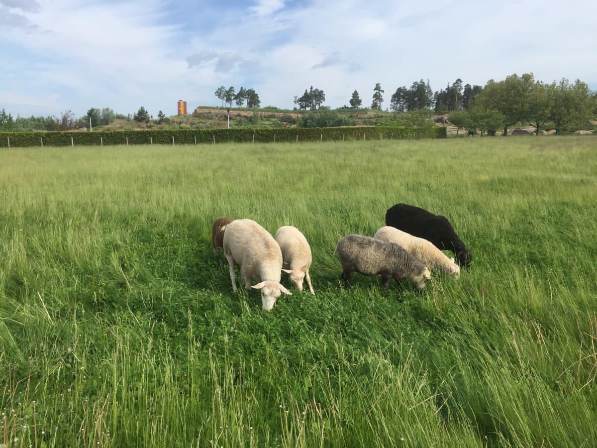 Lampaat syövät heinää