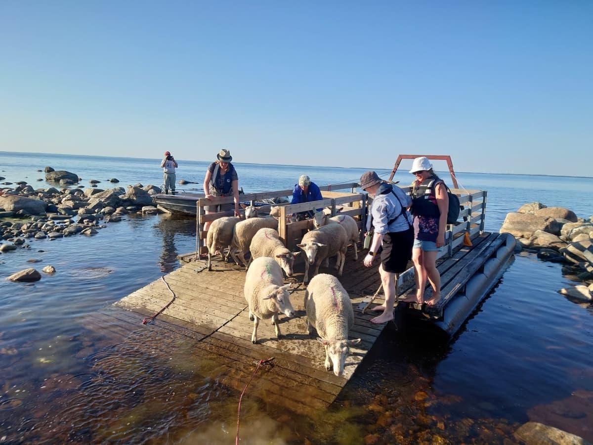 Lampaat rantautuvat Perämeren saareen kuljetuslautalta.
