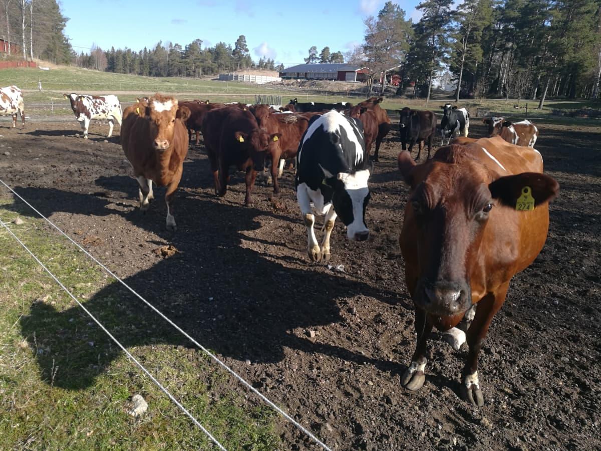 Lehmiä laitumella Paraisilla
