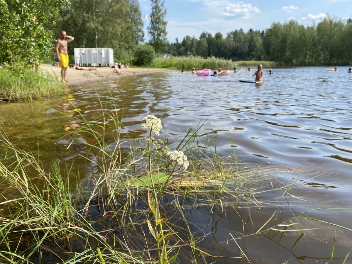 Myrkkykeiso kasvaa vedessä jyväskyläläisellä uimarannalla.