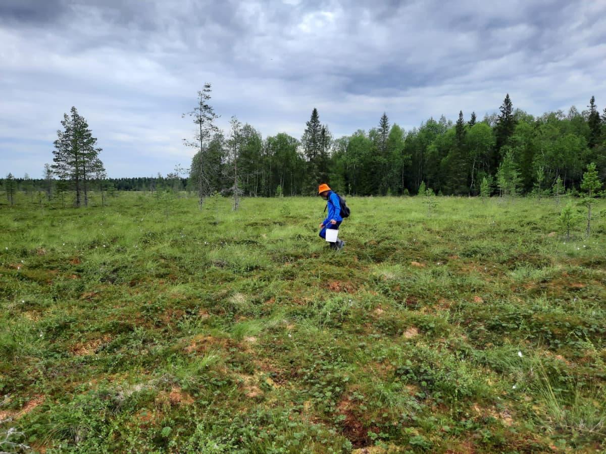 Kemiläinen Jesse Ylimäki poimii hilloja suolla.