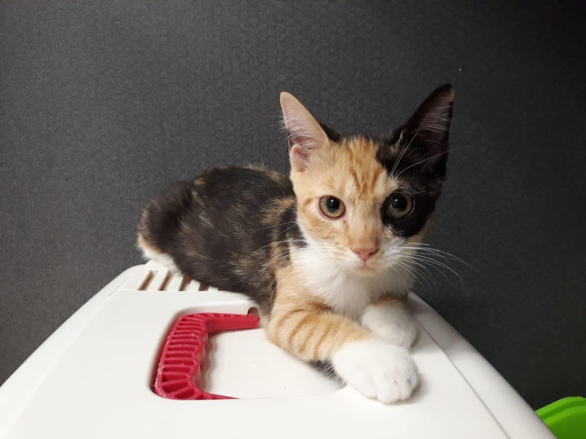 Kissa kantokopan päällä, katsoo suoraan kameraan.