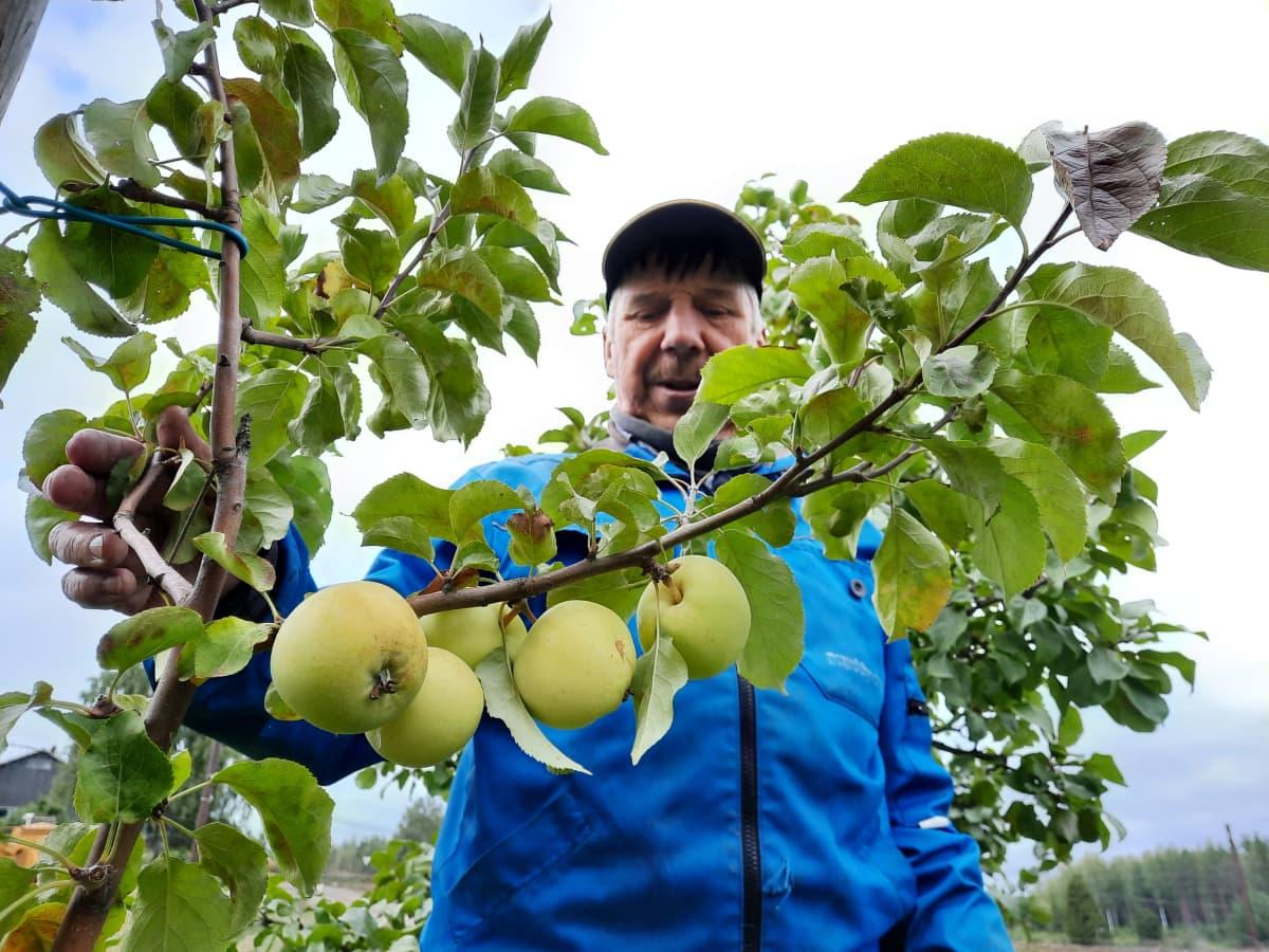 Seppo Holopainen esittelee Lemin Imelä -nimistä omenalajiketta