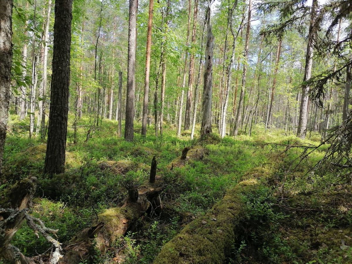 Rehevän runsas metsä. Kuvassa havu- ja lehtipuita.