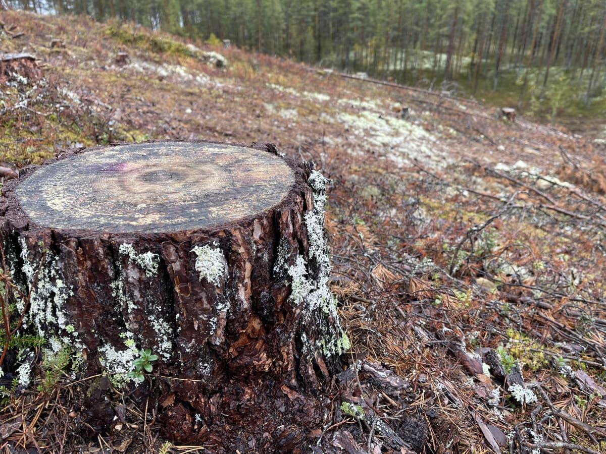 kanto avohakatussa metsässä