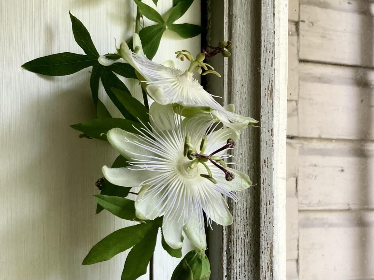 Kaksi näyttävää valkoista kukkaa passiflora-köynnöksessä