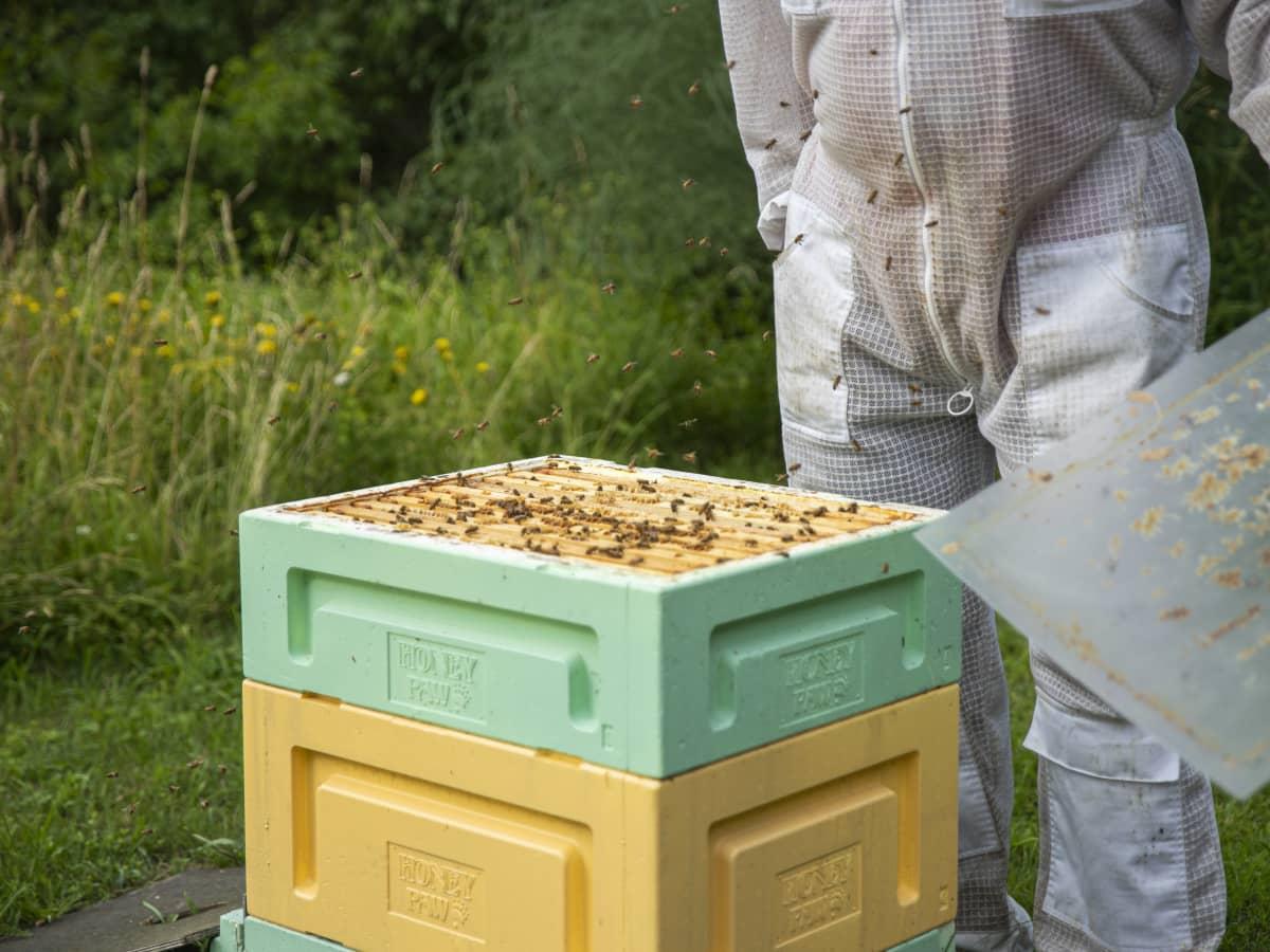 Mehiläisiä avoimen pesän yläpuolella.