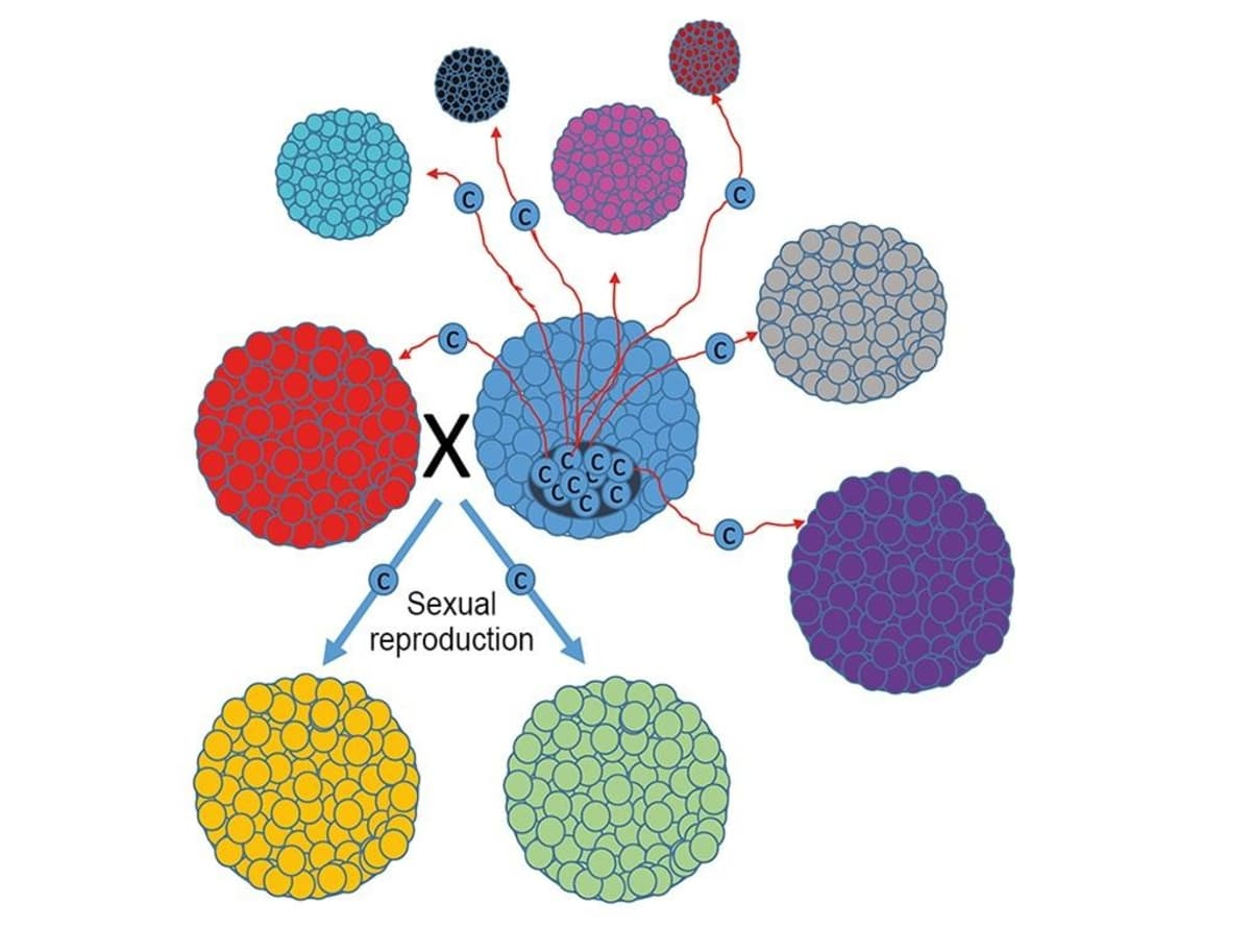 Piirroskuva syöpäsolujen leviämisestä monisoluisissa eliöissä.