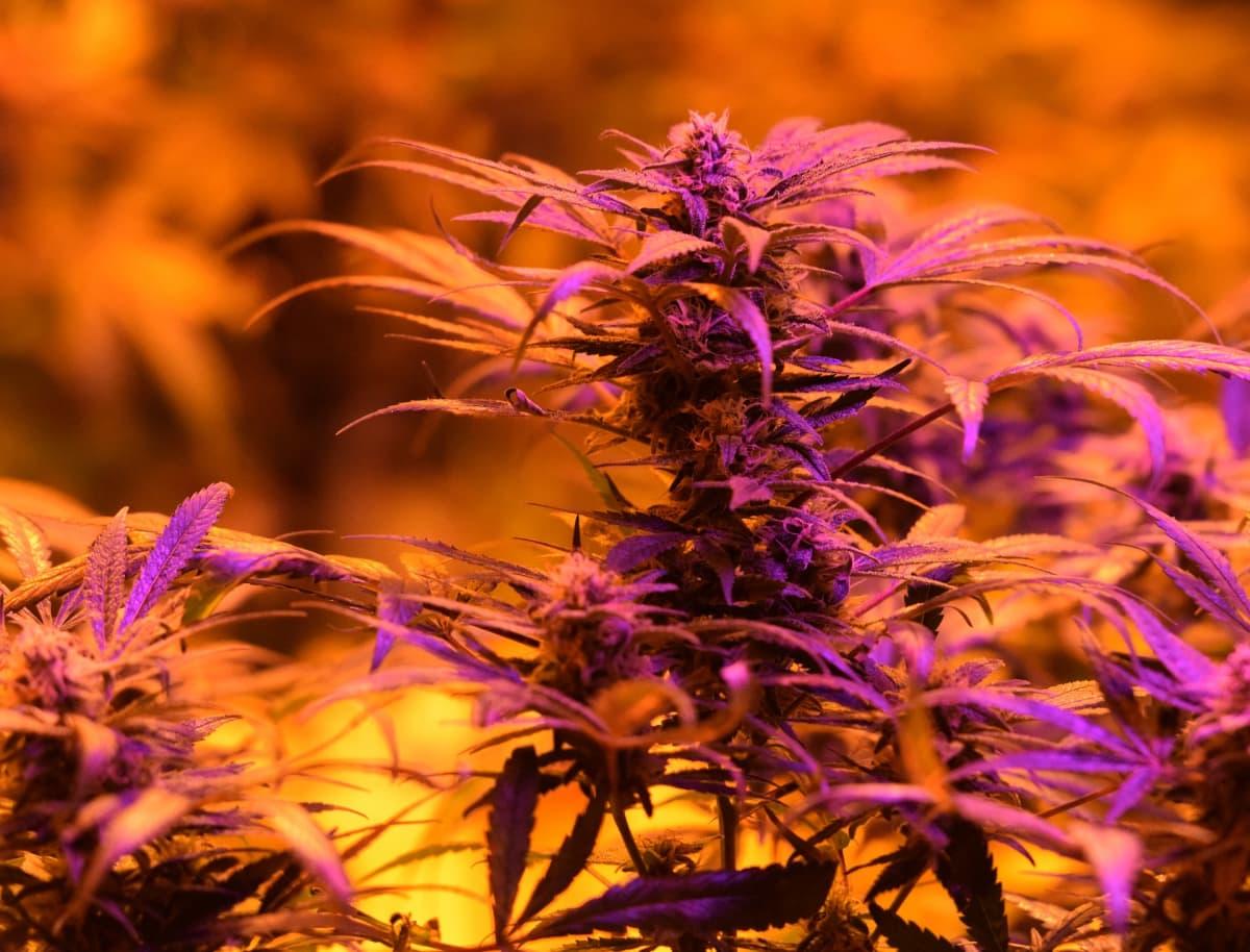 Kannabis-kasveja Denverissä Coloradossa, jossa kannabiksen virkistyskäyttö tuli lailliseksi ensimmäisenä osavaltioista.