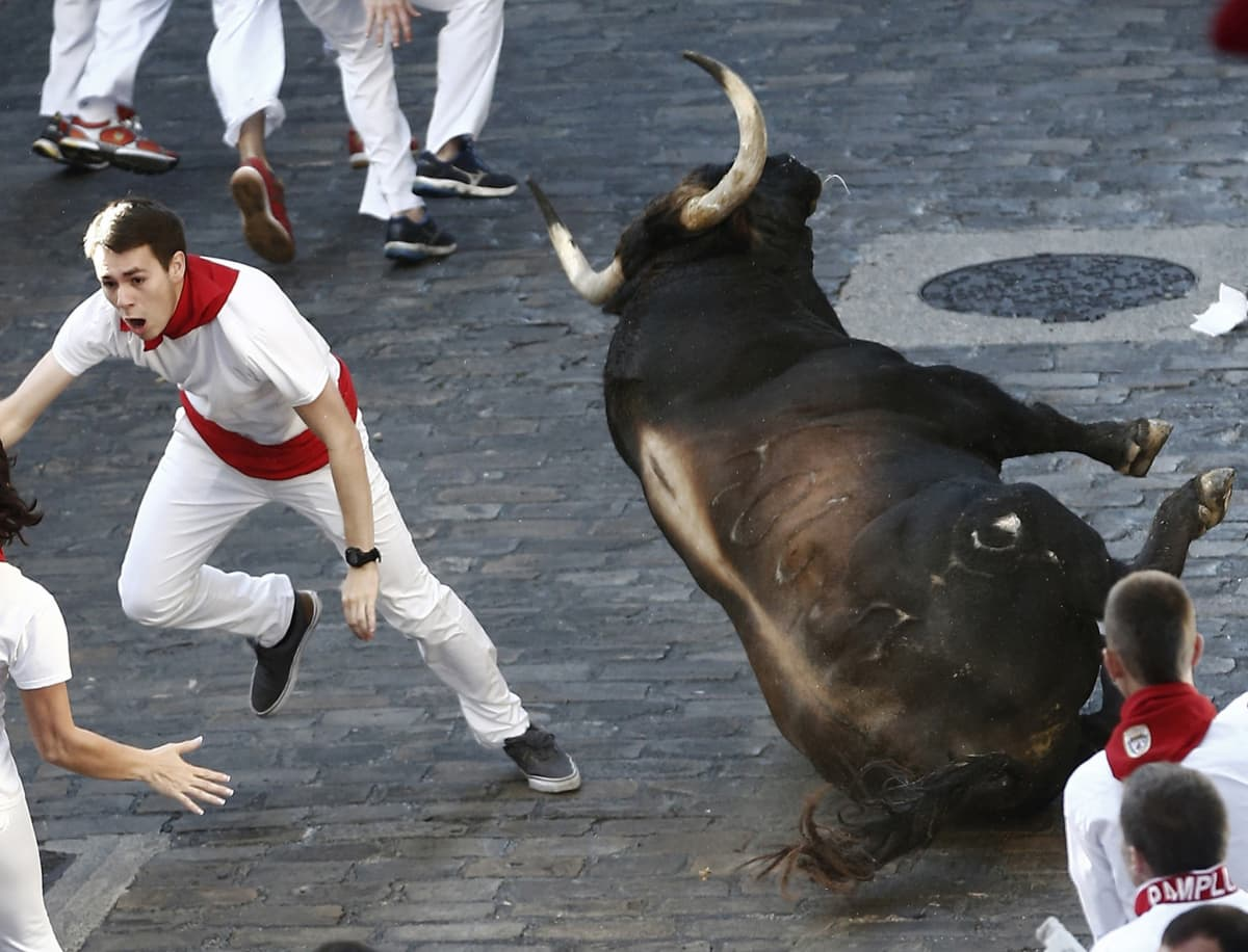 Mies juoksee kaatuvan härän alta pois.
