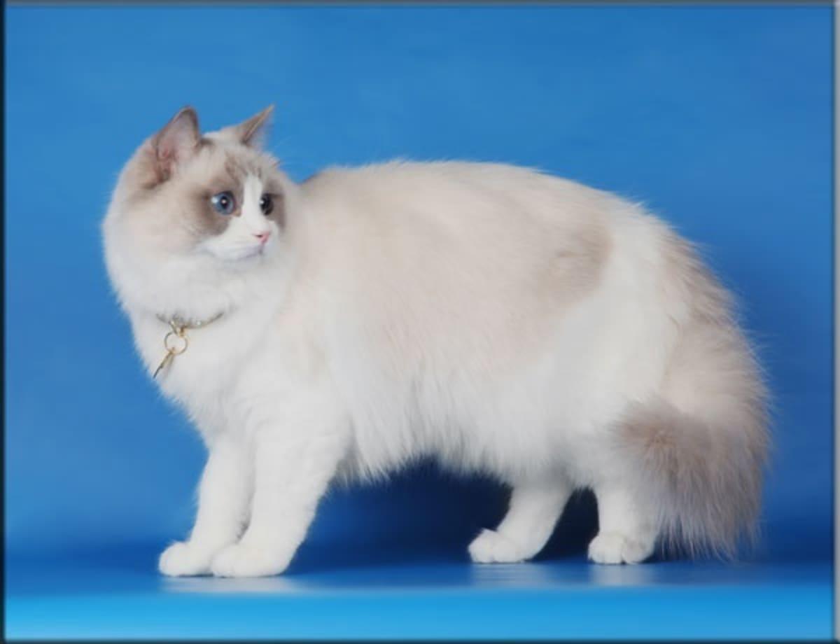 Ragdoll-kissa