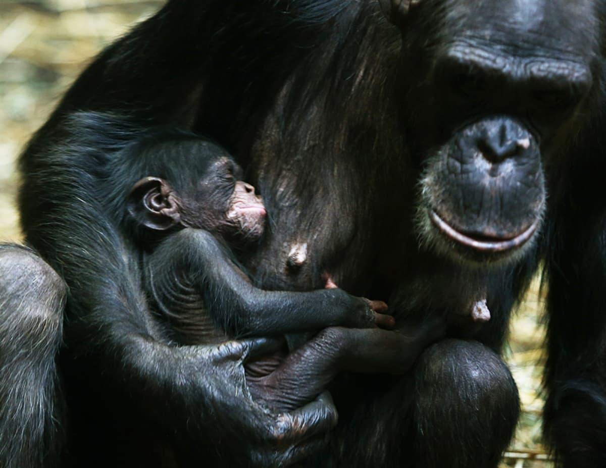 Simpanssiemo 12 päivää vanhan poikasensa kanssa Varsovan eläintarhassa Puolassa 14. tammikuuta.