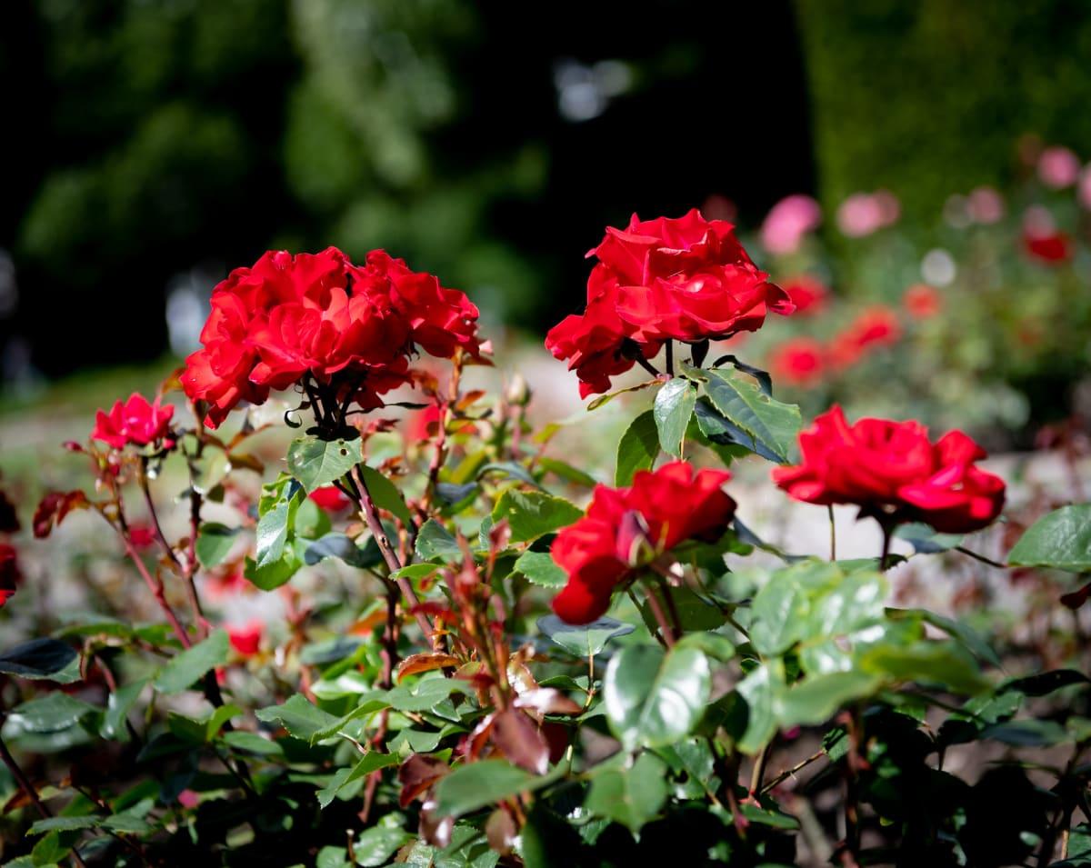Ruusuja kukassa