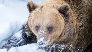 Видео: Ranuan eläinpuiston karhut heräävät – pesäluukut avataan klo 12