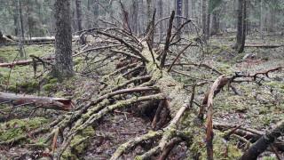 Audio: Miltä tuntuu asua vanhan metsän vieressä?
