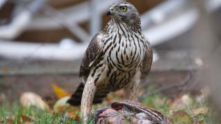 Audio: Espoolaisen kanahaukan reviirillä