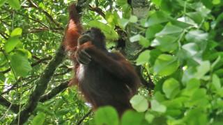 Audio: Borneon orangit ja muita sademetsän ääniä
