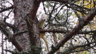 Audio: Valkoinen minkki sähisi puussa