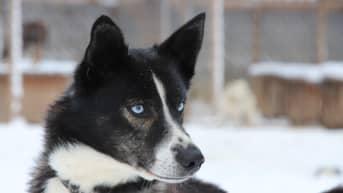 Rekikoira Vilkas katselee sinisillä silmillä.