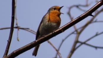 Punarinnan kevätlaulu lähti linnun pienestä, täydestä sydämestä 3. toukokuuta Perttelissä.