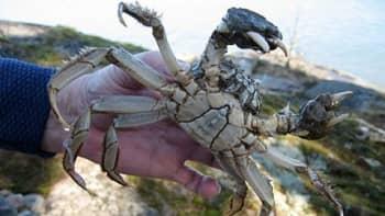 Tällainen saksiniekka tarttui kalaverkkoon Pohjois-Airistolla toukokuun alkupäivinä.