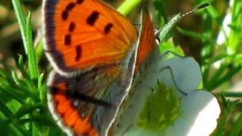 Mansikat kukkivat ja perhosia näkyy jo montaa eri lajia Naantalin Velkualla.