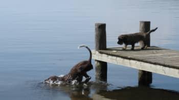 Kaksi koiraa uimassa