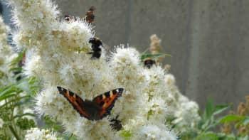 Nokkosperhosia ja mehiläisiä kukassa