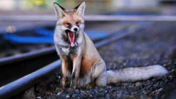 Kettu haukottelee junaradan vierellä.