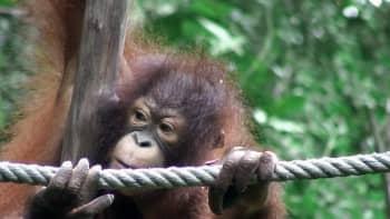 Orangutangi