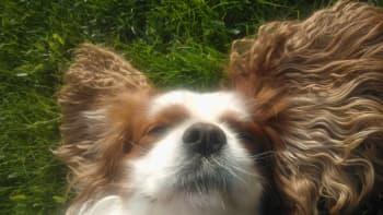 Koira makaa auringossa.