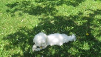 Koira leikkii ruohikolla.
