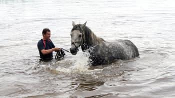 Mies uittaa hevosta vedessä.