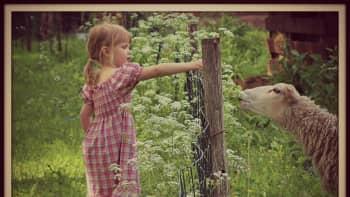 Tyttö syöttää lampaalle ruohoa