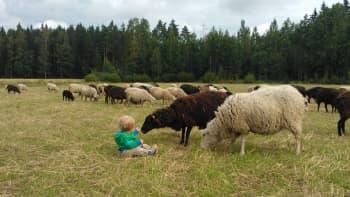 Lapsi lampaiden keskellä