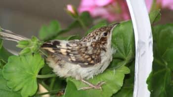 Lintu kukkakorissa