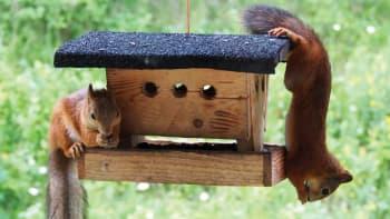 Kaksi oravaa lintujen ruokintatelineessä